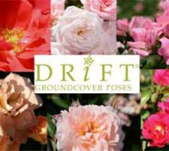 Drift® Groundcover Rose