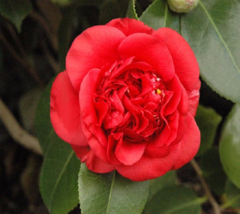 April Tryst Red Camellia Japonica ( Zone 6 )