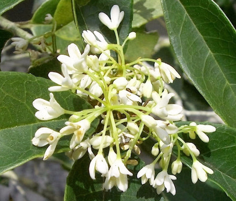 Fragrant Tea Olive (osmanthus)