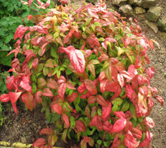 "Firepower Heavenly Bamboo  "" nandina domestica firepower """