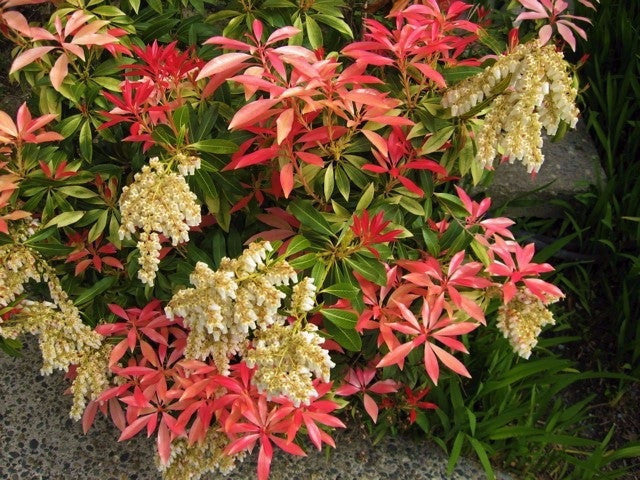 mountain fire pieris japonica new life nursery. Black Bedroom Furniture Sets. Home Design Ideas
