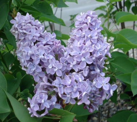 President Grevy Blue French Lilac