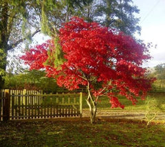 Fireglow Upright Red Japanese Maple