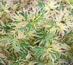 Butterfly Dwarf Upright Japanese Maple
