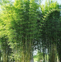 Bamboo Dwarf Multiplex Hedge