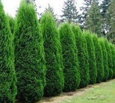 emerald green arborvitae thuja tree