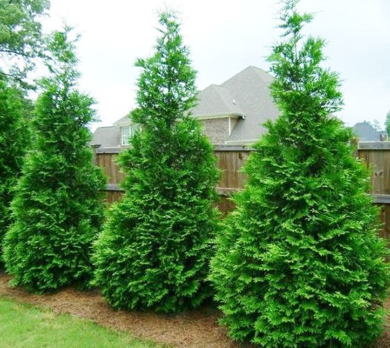 Green giant arborvitae thuja plicata new life nursery for Green giant arborvitae