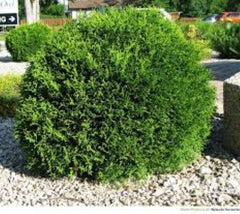 Little Giant Dwarf Arborvitae Thuja occidentalis 'Little Giant'