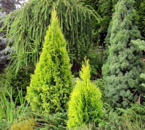 Yellow Ribbon Arborvitae ( Thuja occidentalis )