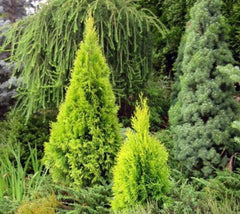 Yellow Ribbon Arborvitae  Thuja occidentalis yellow ribbon