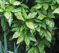 Gold Dust Variegated Aucuba  aucuba variegata gold dust