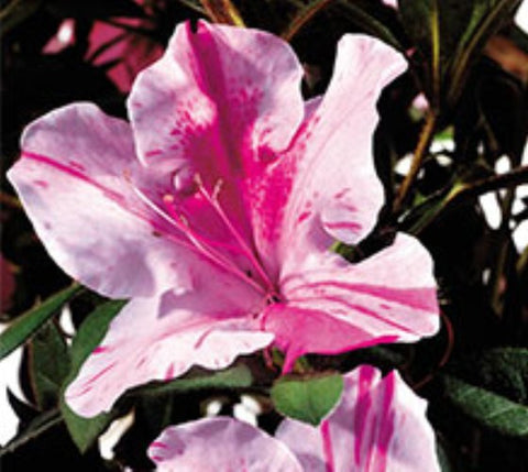 Autumn Twist™ Encore® Azalea