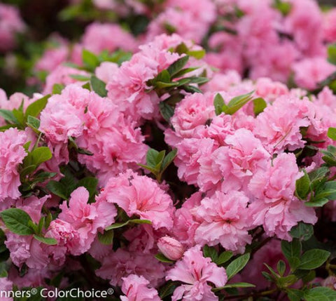 Double Pink Bloom-A-Thon® Reblooming Azalea