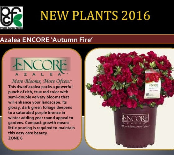 Autumn Fire Encore Azalea New Life Nursery