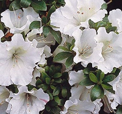 Autumn Moonlight™ Encore® Azalea