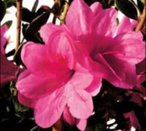 Autumn Empress™  Encore® Azalea