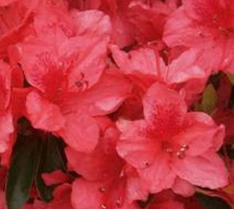 Fashion Azalea ( glen dale hybrid )