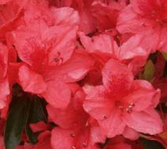 Fashion Azalea  rhododendron x fashion