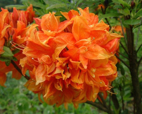 Gibraltar Orange Deciduous Azalea