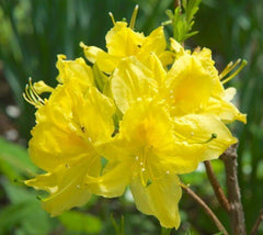 Lemon Lights Yellow Deciduous Azalea