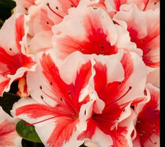 Autumn Starburst® Encore® Azalea