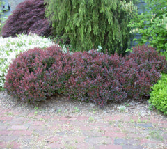 Crimson Pygmy Dwarf Japanese Barberry
