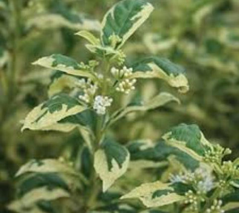 Duet Variegated White Japanese Beautyberry