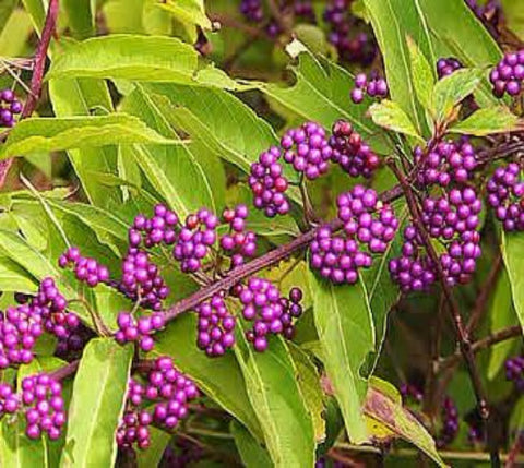 Profusion Purple Beautyberry