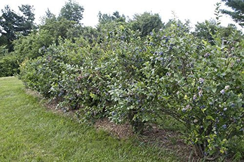 Premier Rabbiteye Blueberry Vaccinium New Life Nursery