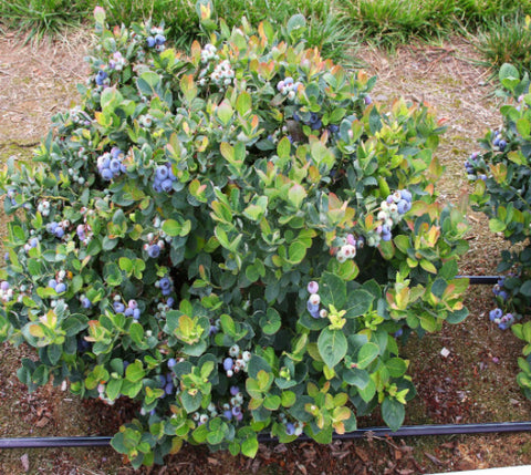 Top Hat Dwarf Blueberry ( Vaccinium )