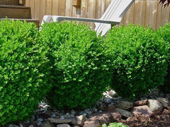 Baby Gem Boxwood ( buxus )