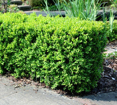 Japanese Boxwood buxus microphylla var. japonica