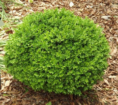 True Dwarf English Boxwood buxus sempervirens suffruticosa