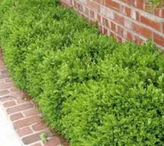 Wintergreen Boxwood buxus microphylla koreana wintergreen