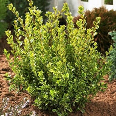 Golden Dream Dwarf Boxwood