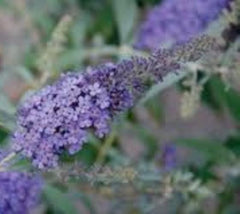 Buzz Sky Blue Dwarf Butterfly Bush buddleia davidii buzz sky blue