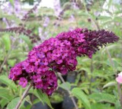 BUZZ Purple Dwarf Butterfly Bush buddleia davidii buzz Purple
