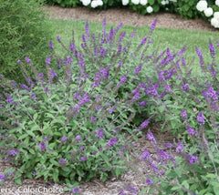 Lo & Behold® 'Blue Chip Jr.' Dwarf Butterfly Bush