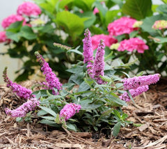 Buzz Midnight Dwarf Butterfly Bush New Life Nursery