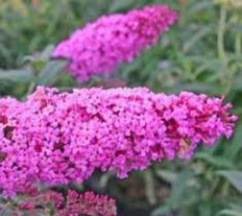 Pink Delight Butterfly Bush ( Buddleia )