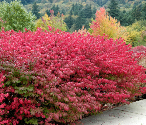 Dwarf Burning Bush ( euonymus alatus )