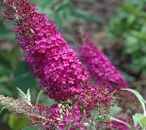 Attraction Butterfly Bush ( Buddleia )