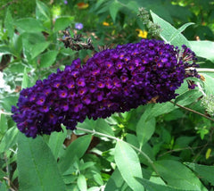 "Buddleia Black Knight  Buddleia davidii "" Black Knight """