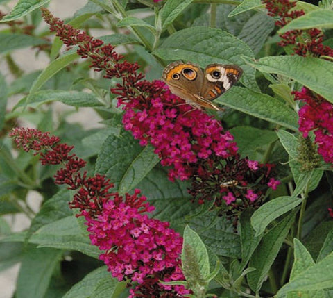 Miss Molly Red Butterfly Bush