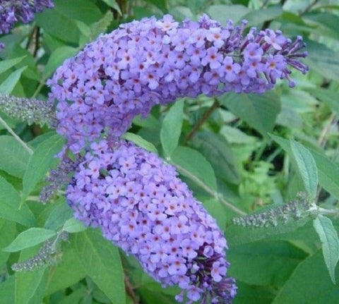 Nanho Blue Butterfly Bush ( Buddleia )