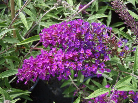 Nanho Purple Butterfly Bush ( Buddleia )