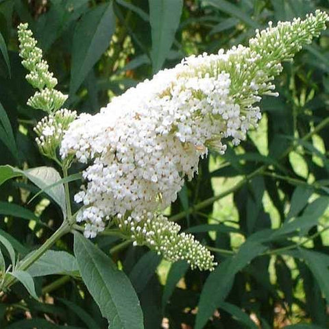 White Profusion Butterfly Bush ( Buddleia )