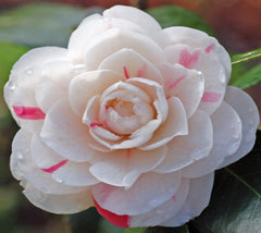 April Dawn Camellia Camellia japonica 'april dawn'