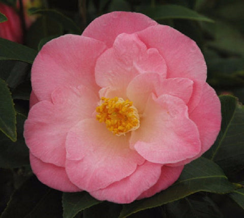 April Remembered pink camellia ( Zone 6 )