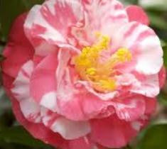 bart colbert camellia japonica plant